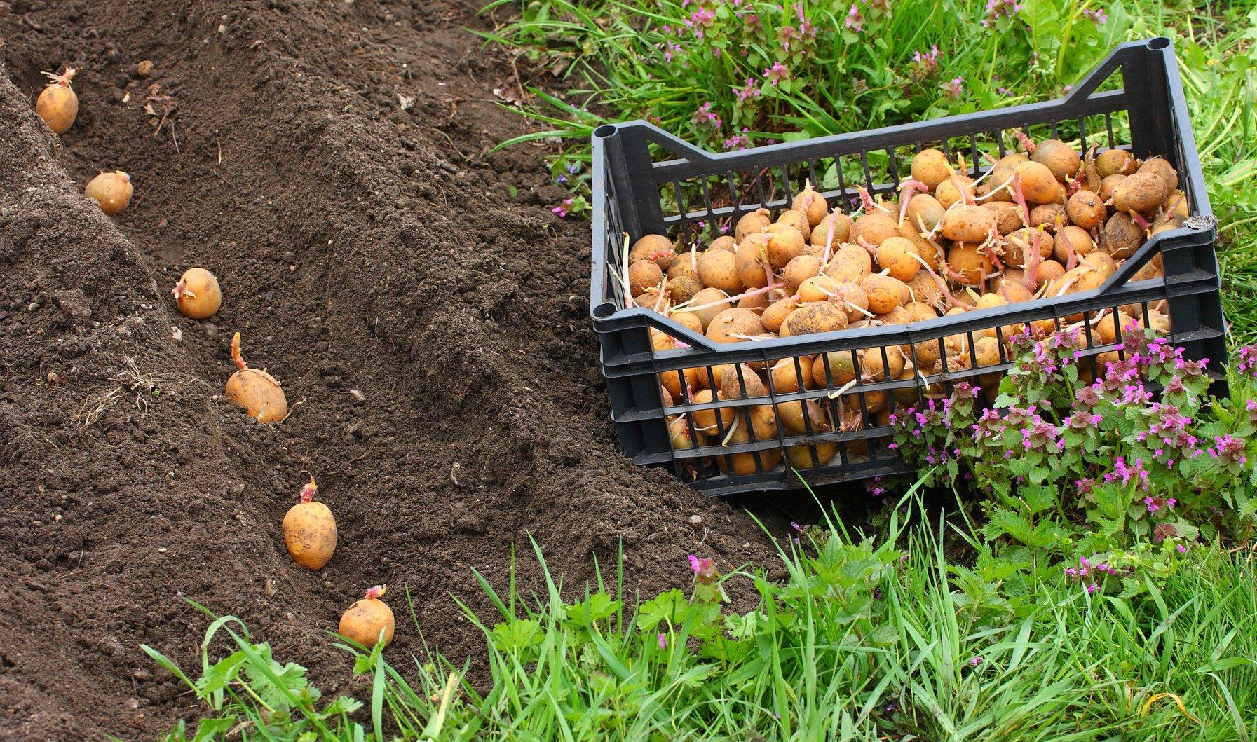 Посадка картофеля от а до я: способы как сажать картошку, схемы, сроки для высокого урожая - почва.нет