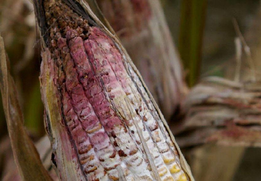 Кукурузный мотылек