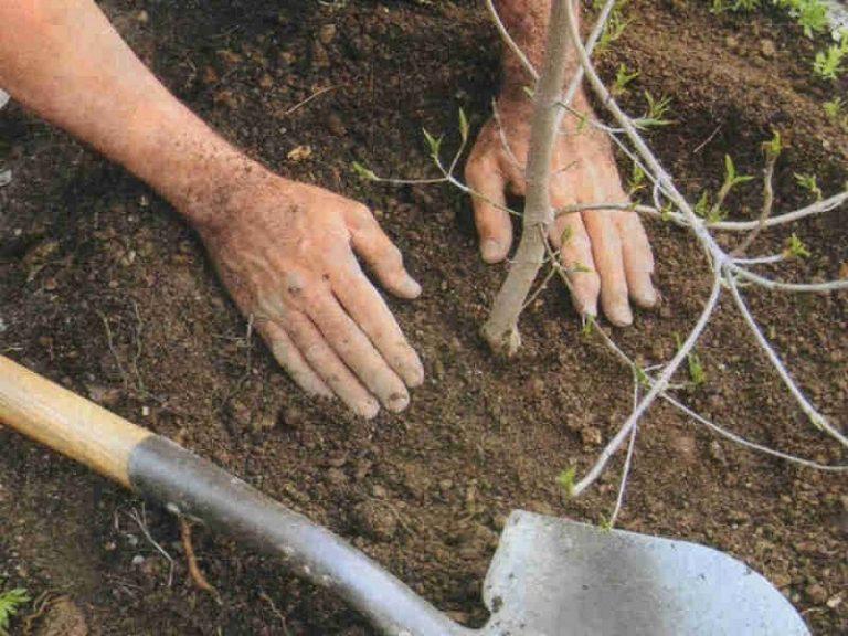 Выращивание облепихи: выбор сорта, посадка и уход