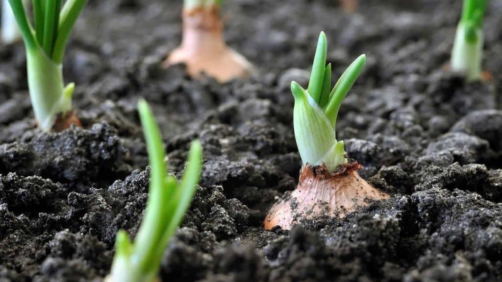 Лук севок на подоконнике - выращивание лука в домашних условиях