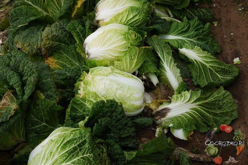 100% про выращивание пекинской капусты в открытом грунте: 10 шагов на пути к успеху