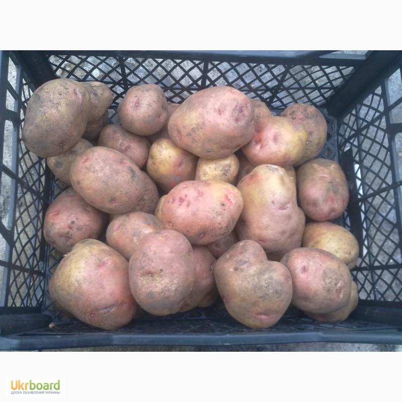 Картофель иван-да-марья: характеристика и описание сорта, урожайность, способы выращивания и ухода, фото