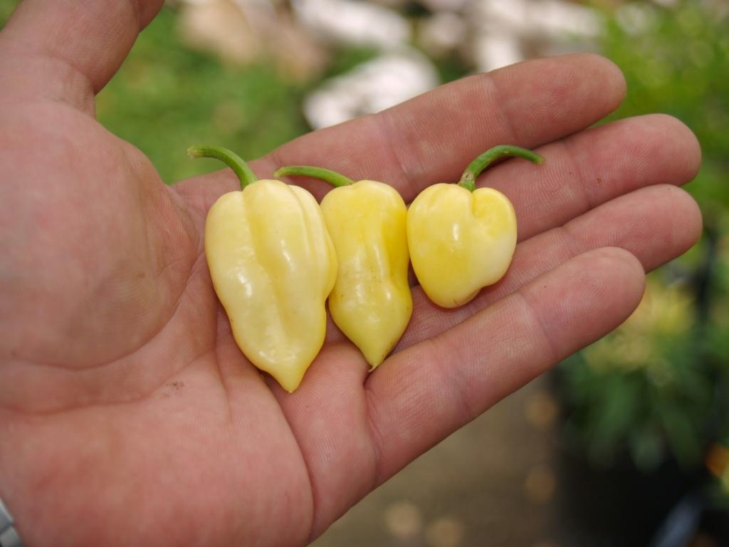 Особенности и секреты выращивания перца хабанеро в домашних условиях - всё про сады