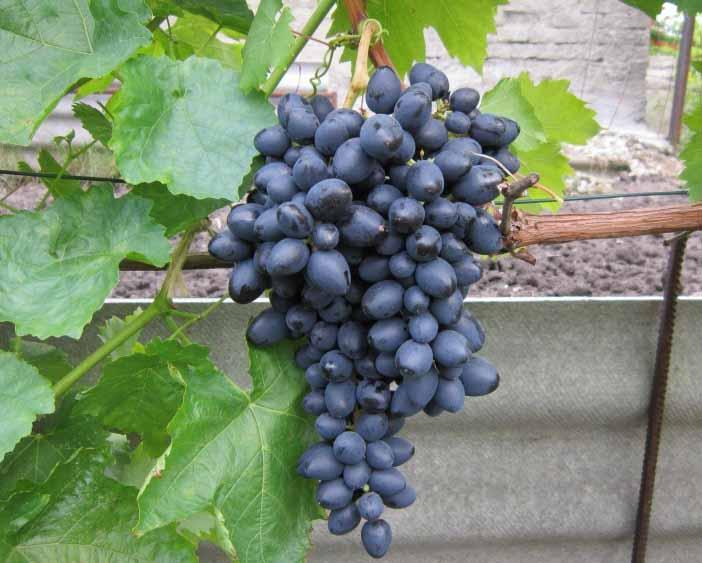 Синие и черные сорта винограда в украине: описание, фото, купить саженцы - vinograd-loza