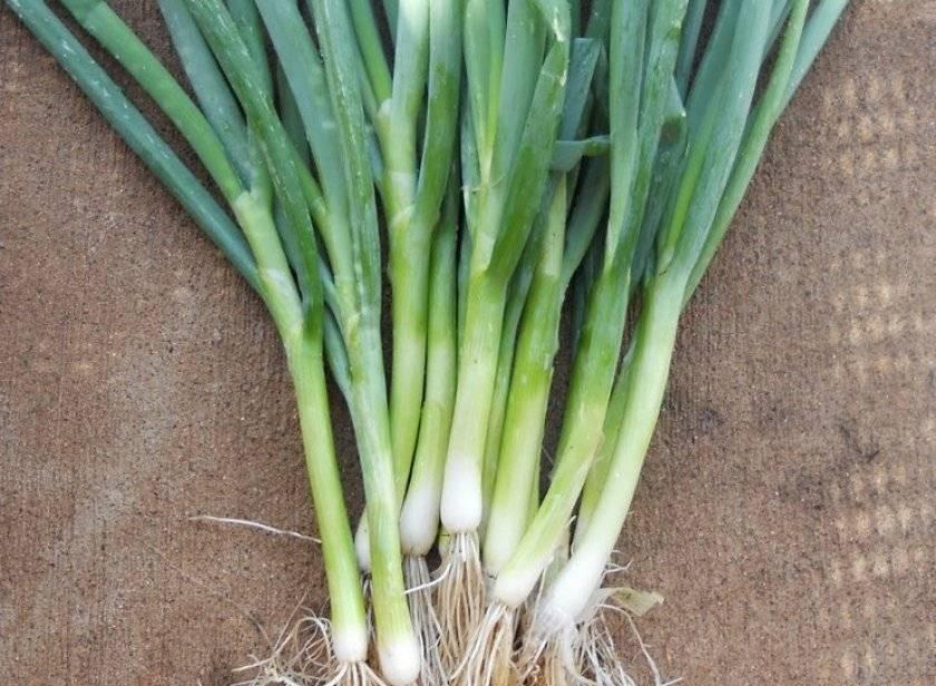 Лук-батун: посадка семенами на рассаду и уход в открытом грунте