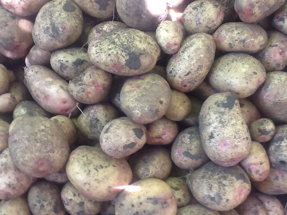 Сорт картофеля иван да марья: фото, отзывы, описание, характеристики