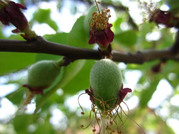 Болезни усыхания абрикоса