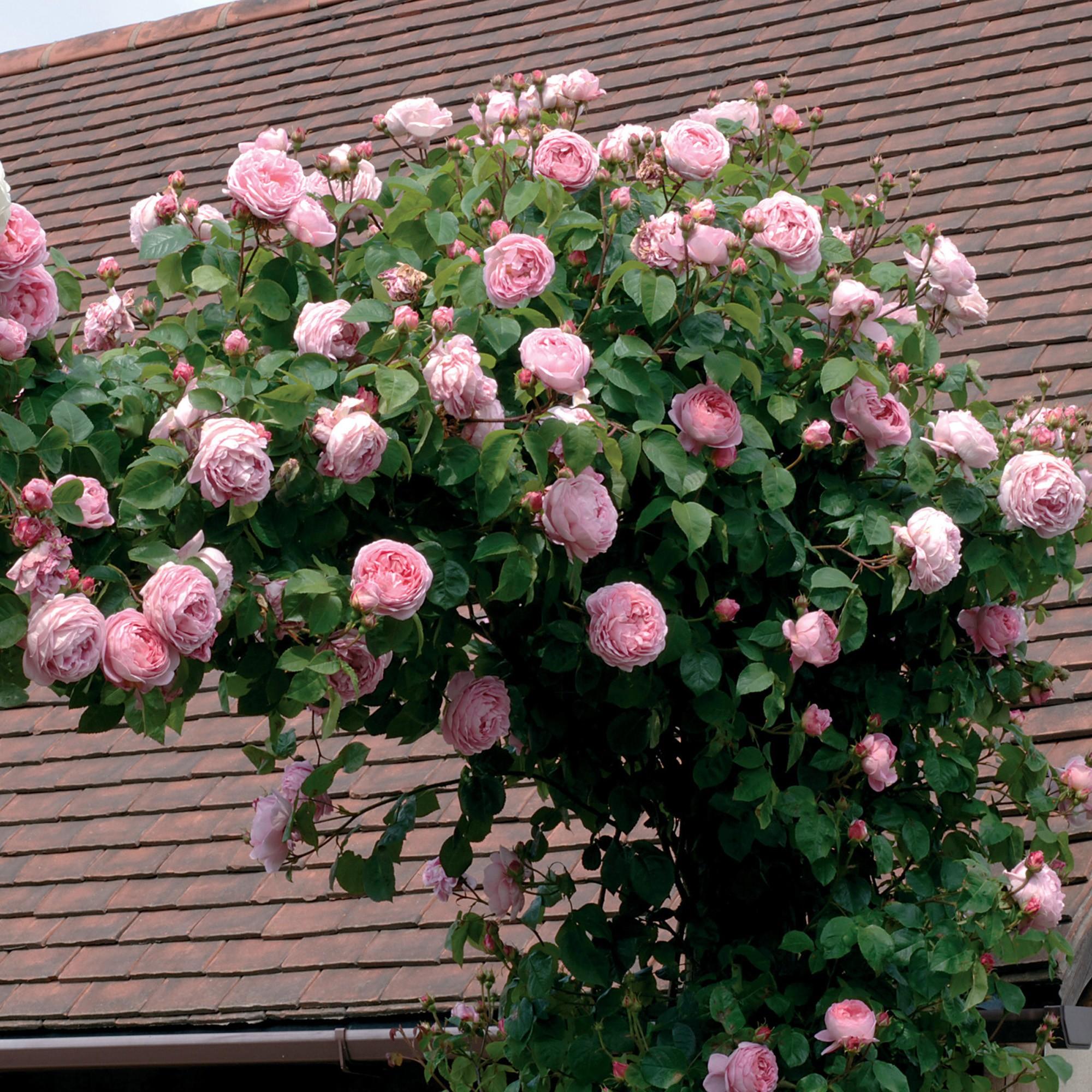 Как вырастить и сделать букет из пионовидной розы