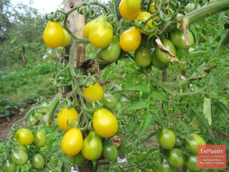 Сорт томата вишня желтая