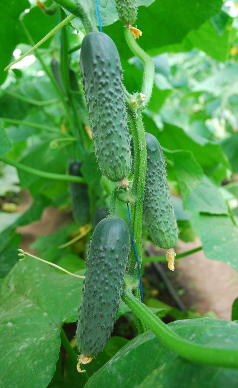 Сорта огурцов для теплицы: описания, фото, рекомендации по выращиванию
