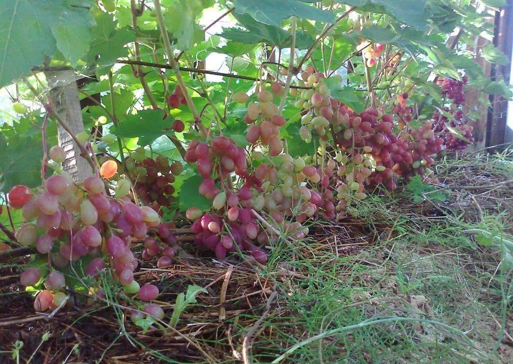 Описание сорта винограда виктория: фото и отзывы | vinograd-loza