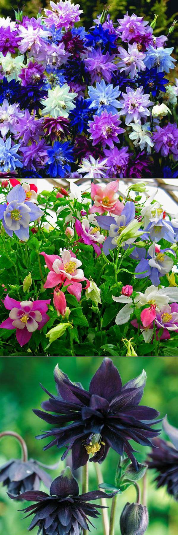 Аквилегия: выращивание из семян в саду