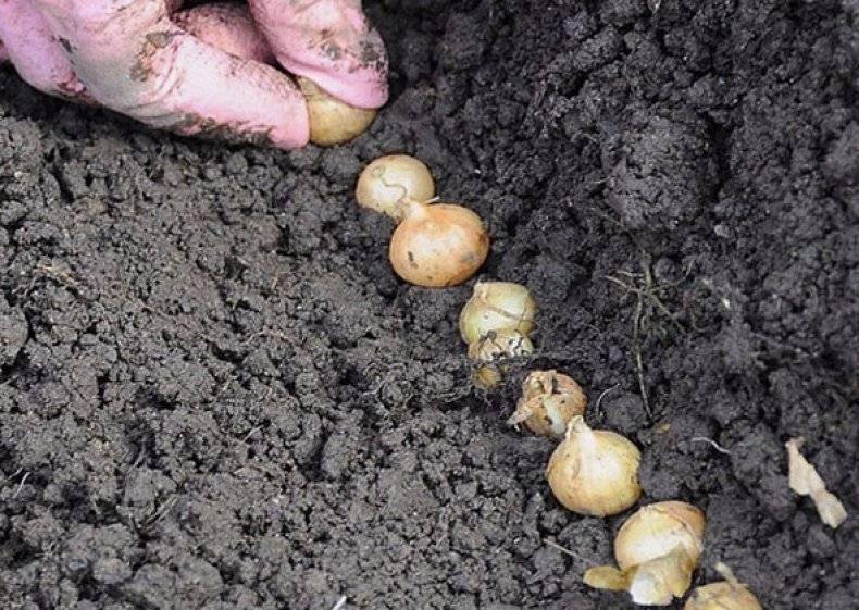 Правильная посадка лука севка весной в открытый грунт, на какую глубину садить + видео