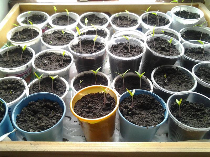 Выращивание базилика на дачном участке и дома