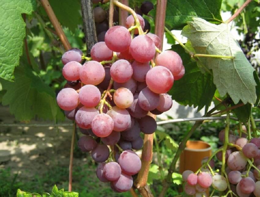 Виноград платовский: описание сорта, руководство по выращиванию