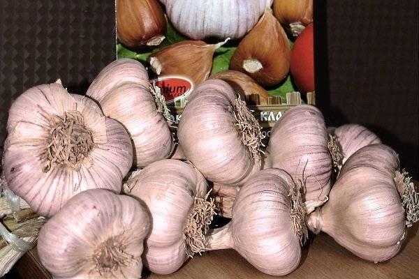 Чеснок добрыня: описание сорта и его урожайность, выращивание и уход