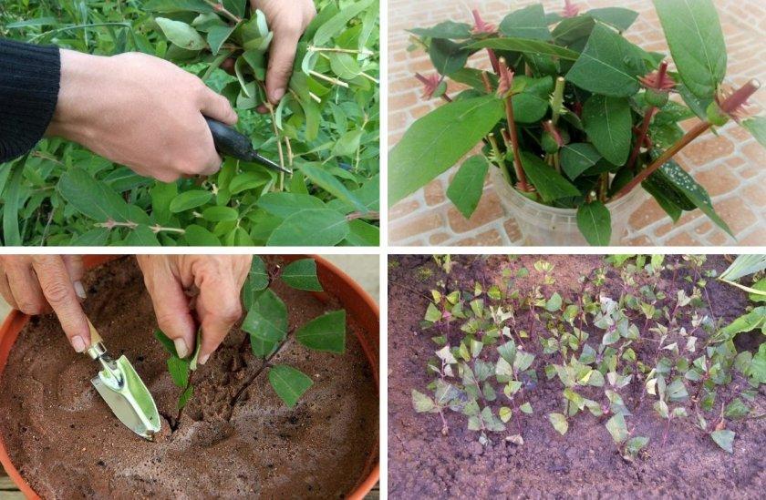 Как размножается мята семенами и корневыми отводками