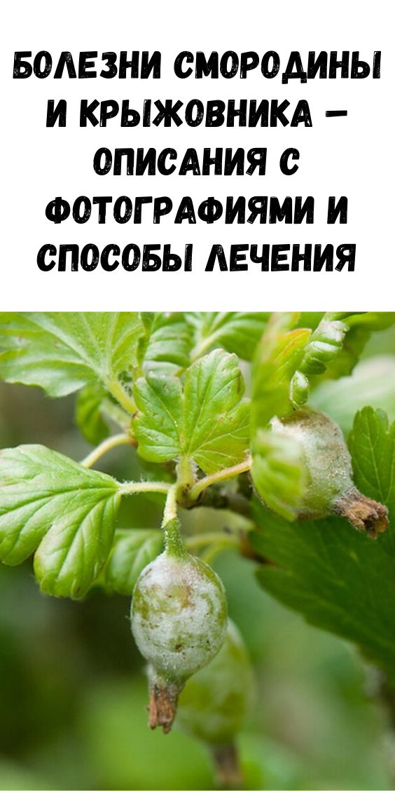 14 болезней смородины: белый налет на стволе и ветках, пятнистая выпуклость листьев, как лечить и как бороться