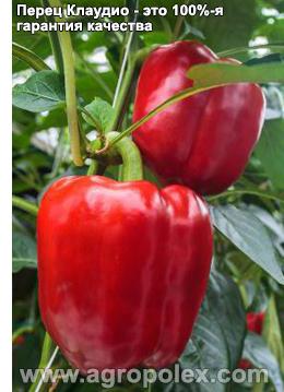Перец клаудио f1 — отзывы овощеводов, описание особенностей сорта и его выращивания