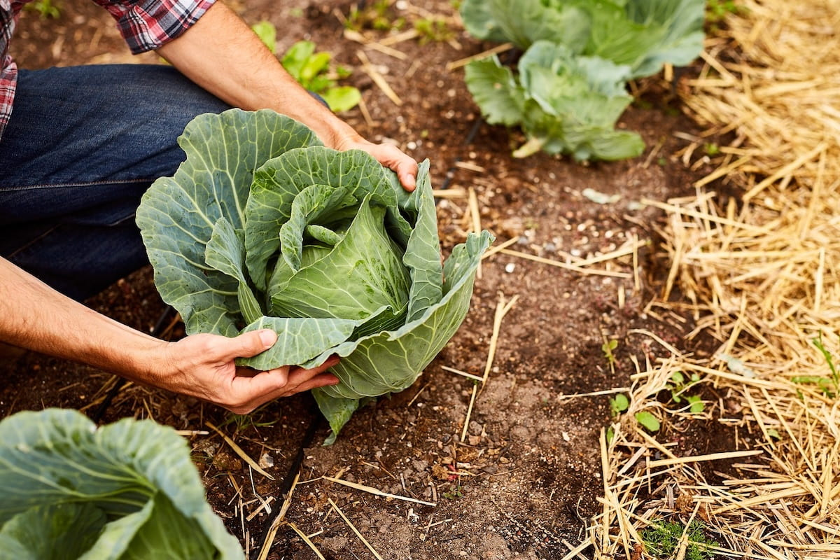 Выбор удобрения и подкормка рассады капусты после высадки в грунт