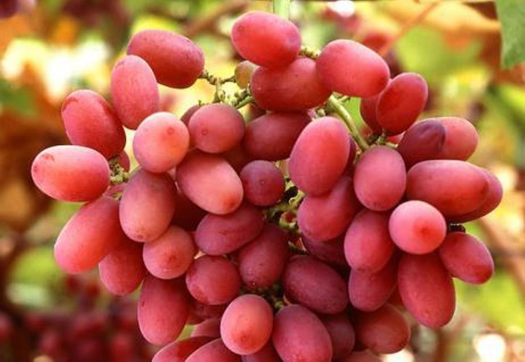 Виноград юлиан: характеристика сорта, уход и выращивание, отзывы