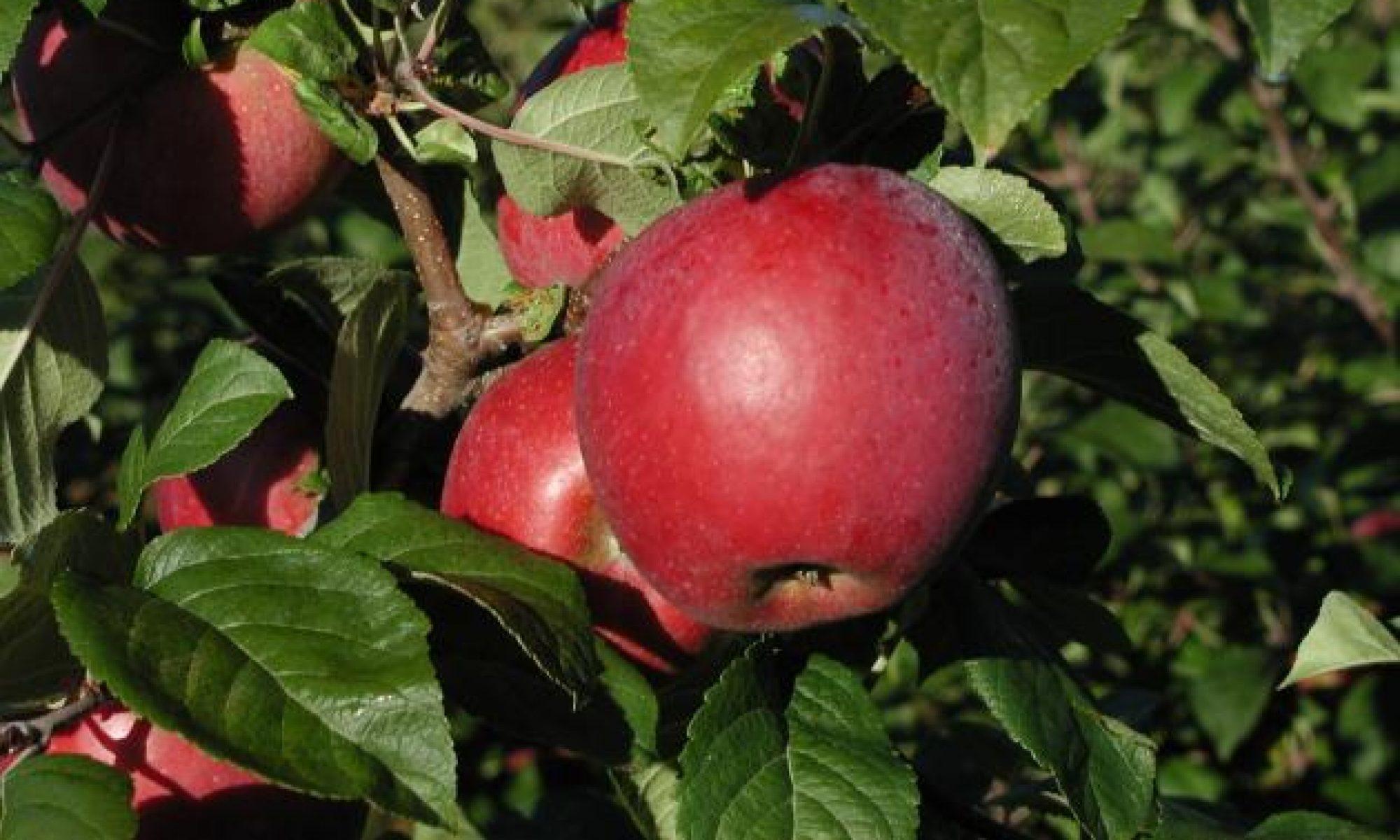 Описание сорта яблони коваленковское: фото яблок, важные характеристики, урожайность с дерева
