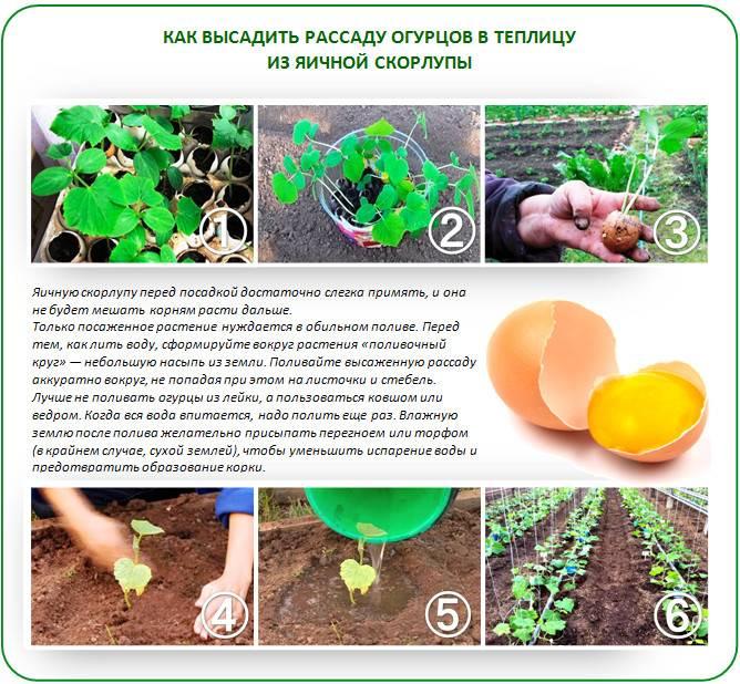 Выращивание кларкии из семян рассадой, посадка кларкии в открытый грунт и уход за кларкией в саду