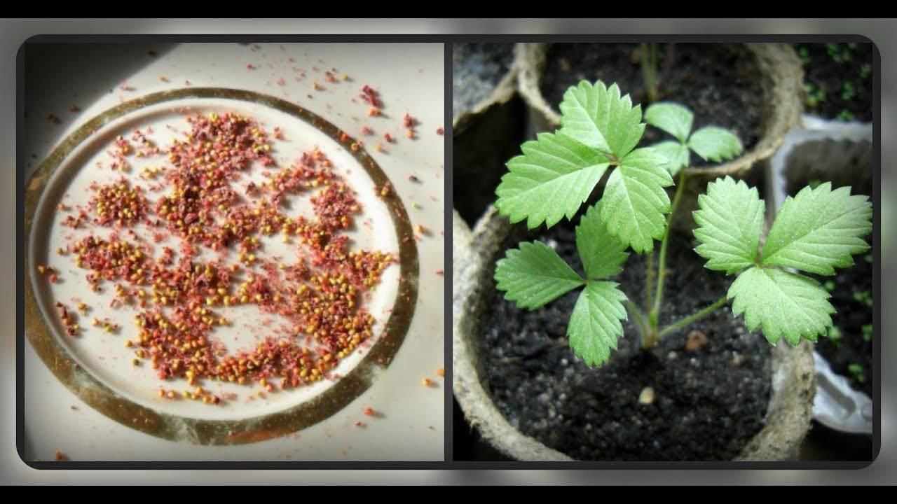 Как вырастить клубнику из семян? полезные советы
