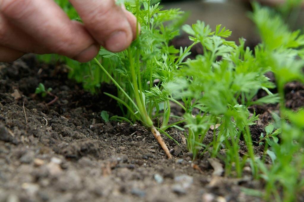 Морковь - секреты выращивания в открытом грунте
