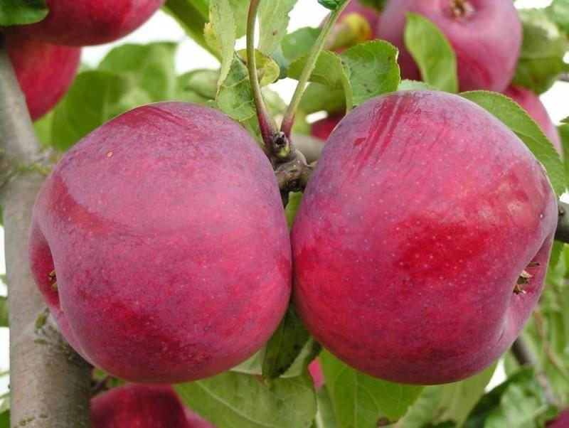 Яблоня легенда: описание сорта, фото, отзывы садоводов