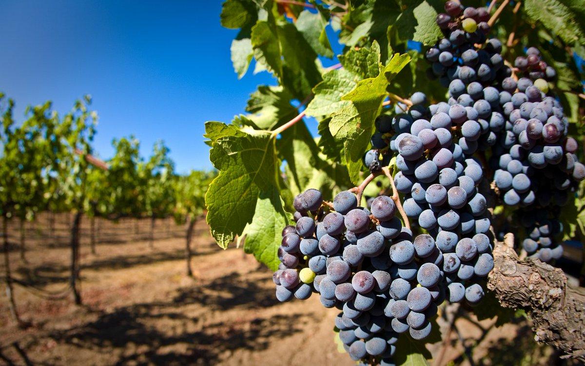 Виноград саперави: описание сорта, правила ухода и посадки, где растет