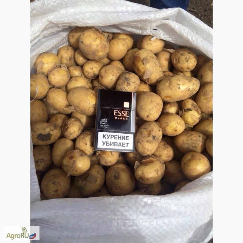 ᐉ сорт картофеля «латона» – описание и фото - roza-zanoza.ru