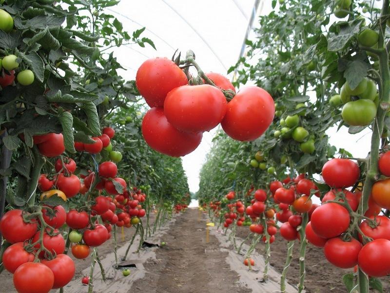 Сорт помидоров палка — идеальный вариант для садоводов
