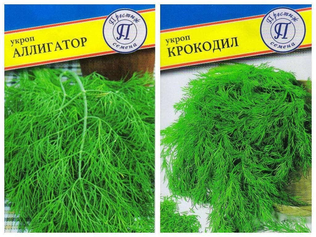 Сорта укропа на зелень без зонтиков: для многократной срезки, которые дают много зелени