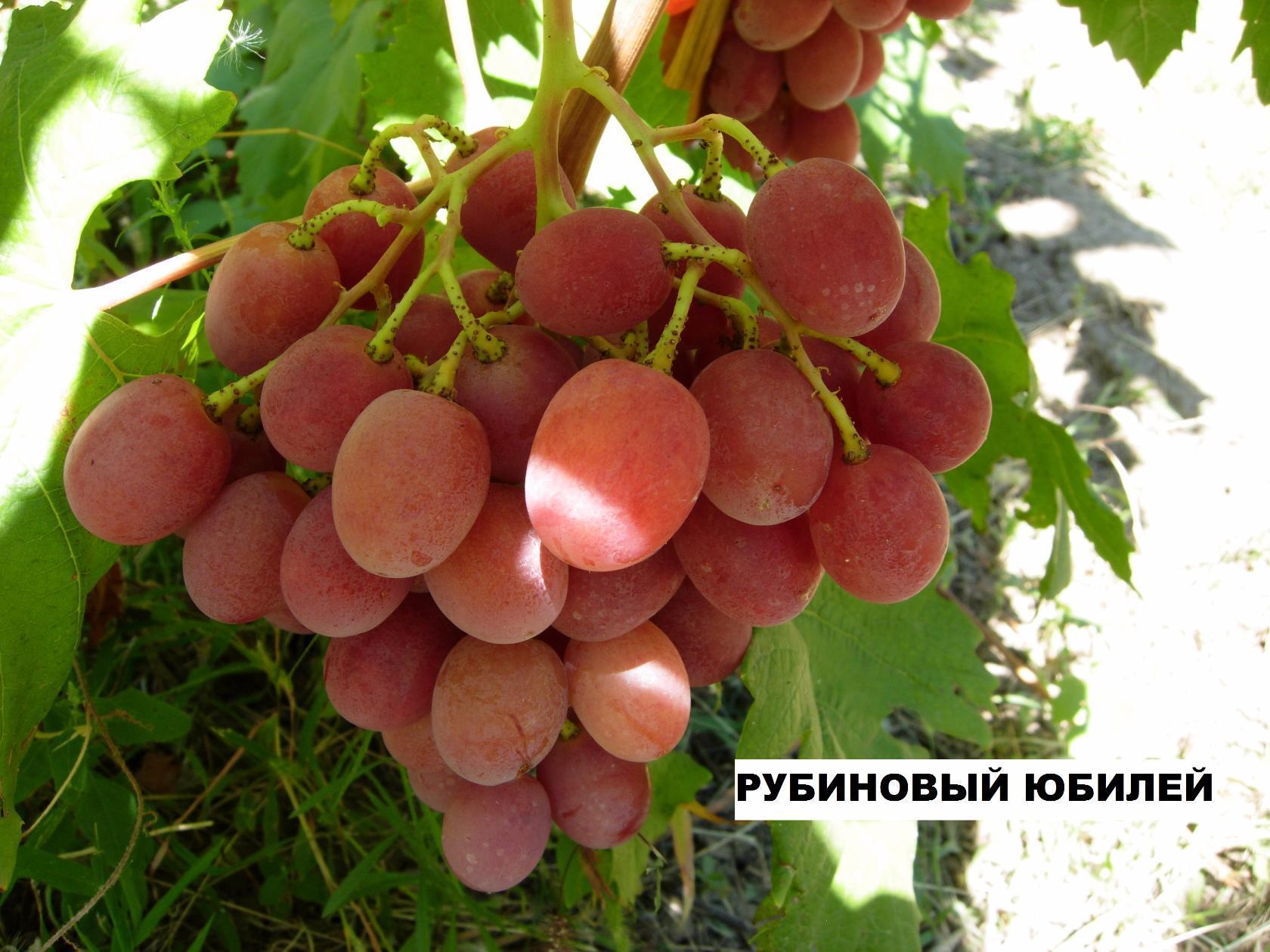 Описание винограда сорта Рубиновый юбилей, посадка и уход