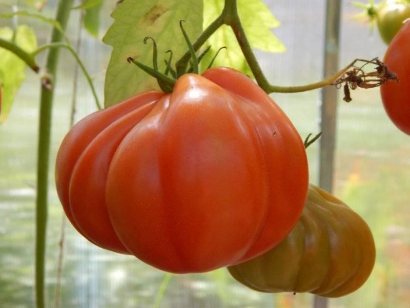 Томат инжир розовый: отзывы, урожайность, характеристика и описание