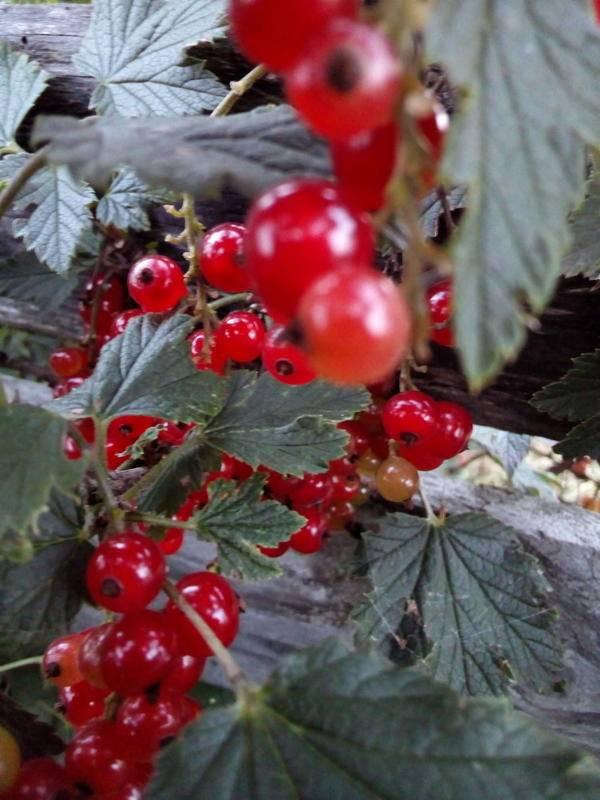 Сорт смородины красная ненаглядная: описание, отзывы, достоинства, посадка и уход