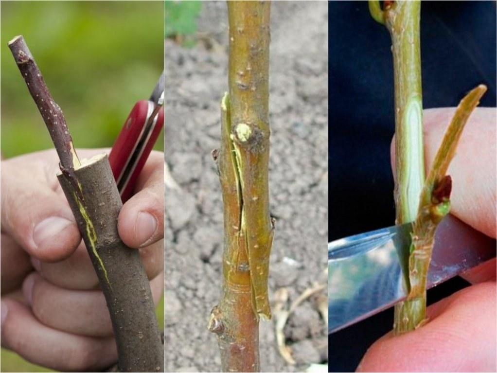 Сроки и способы прививки персикового дерева, правила процедуры