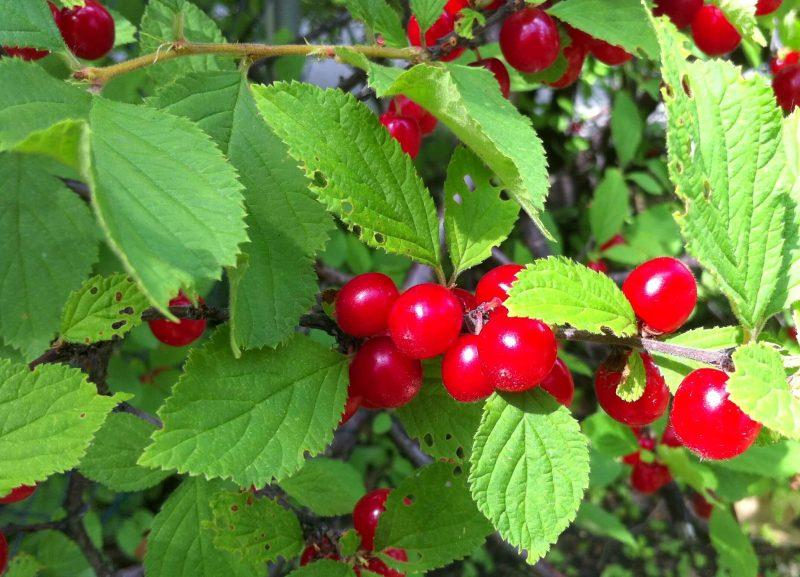 Самоплодные (самоопыляемые) сорта вишни: обзор лучших, характеристики, фото и отзывы