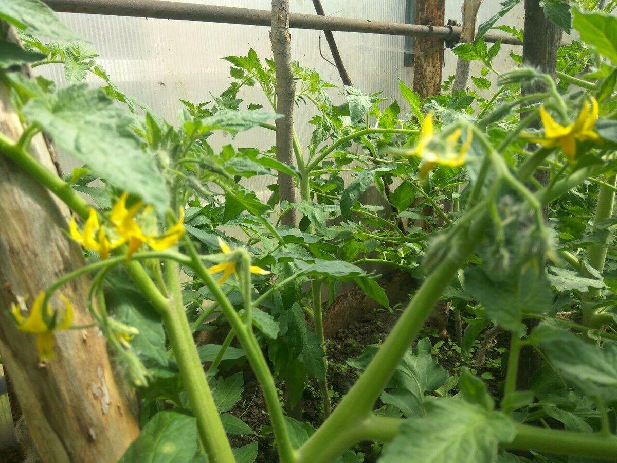 Основные причины пустоцвета на кабачках и как с ними бороться