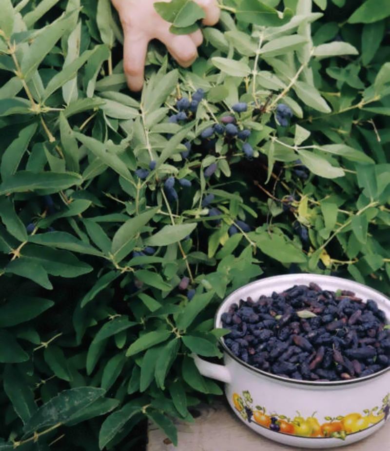 Жимолость: посадка и уход, обрезка и размножение, лечебные свойства