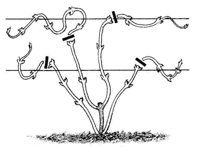 Правильная посадка и уход за виноградом сорта изабелла