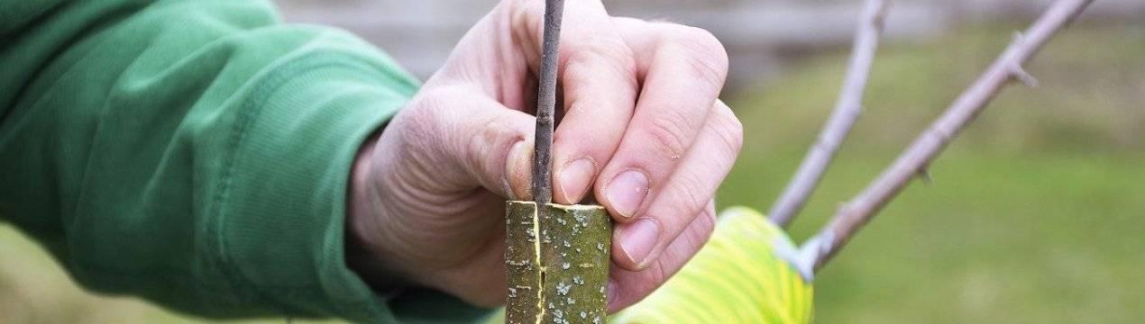 Прививка персика весной: на что прививают, как привить персик, инструкция для начинающих