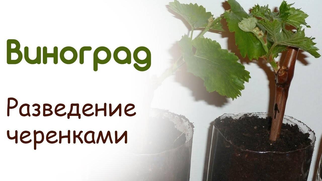 Как сажать виноград черенками, одревесневшими и зелёными, в том числе в подмосковье, на урале, в белоруссии, на украине, инструкции с фото