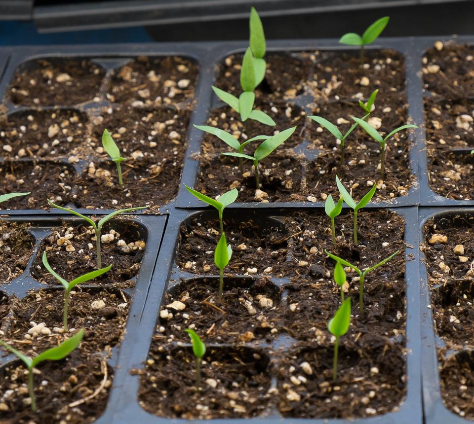 Выращивание перца на подоконнике: любительская инструкция