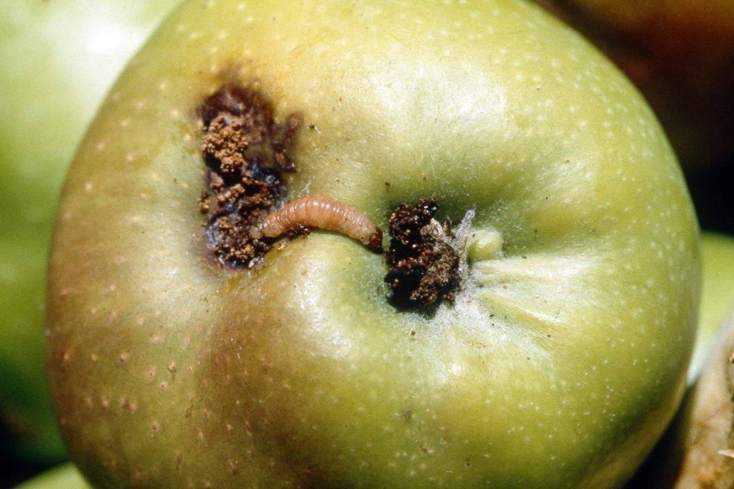 Обработка яблонь от плодожорки: сроки и препараты для опрыскивания