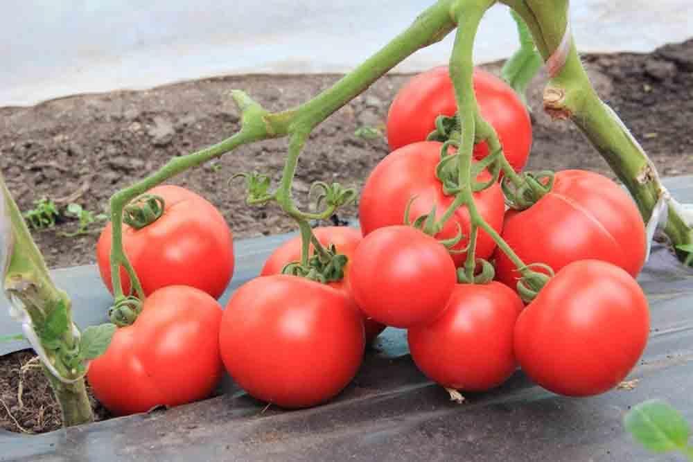 Ранние помидоры большая мамочка от фирмы гавриш: описание сорта, преимущества и недостатки