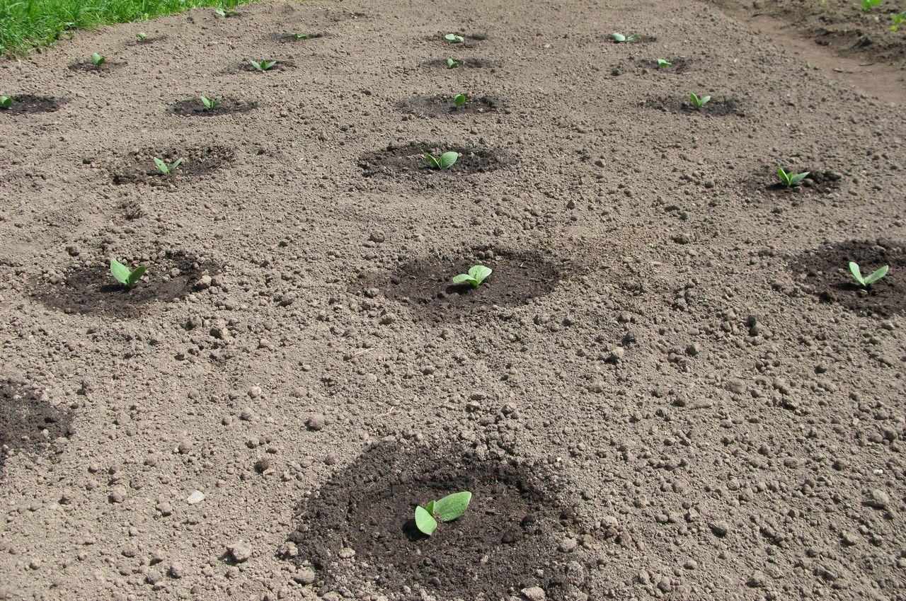 Как правильно сажать огурцы в открытый грунт | вырасти сад!