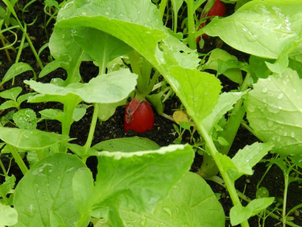При какой температуре растет редис: какова оптимальная для почвы, можно ли сеять в открытый грунт, боится или нет заморозков, какое похолодание овощ выдерживает? русский фермер