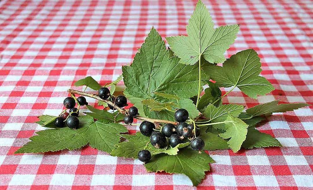 Когда собирать листья малины и смородины для сушки на зиму и как их правильно сушить — как правильно сушить листья малины и смородины для чая